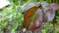 برای دیدن سایز بزرگ روی عکس کلیک کنید  نام: Leaf.jpg مشاهده: 23 حجم: 171.3 کیلو بایت